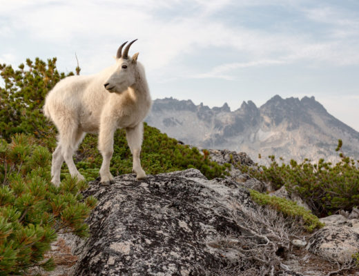 Goat Enchantments WA