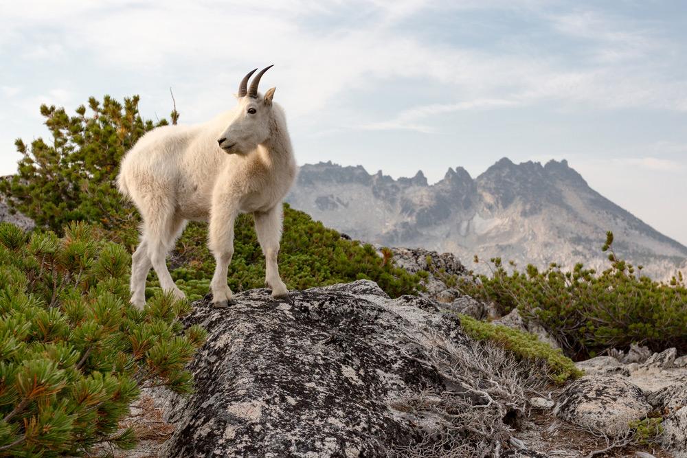 Goat Enchantments WA